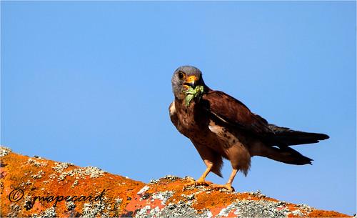 Peneireiro das torres (Falco naumanni).