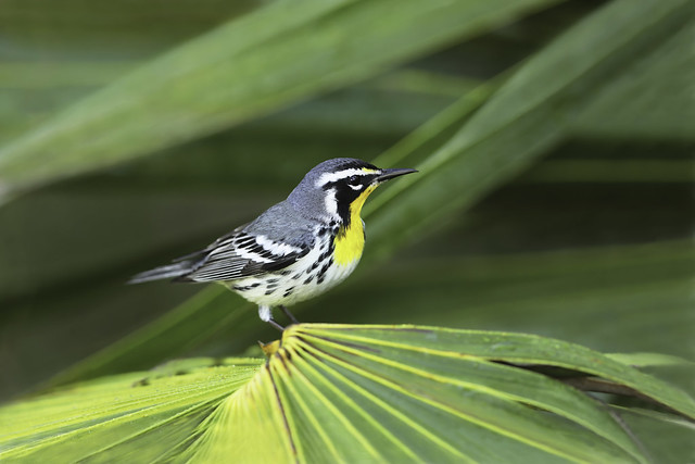 Paruline à gorge jaune / yellow-throated warbler