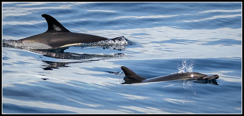 137/365 Common dolphins off of Ponta Delgada, Azores.