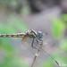 Indothemis limbata, female