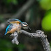 Kingfisher 190526130.jpg