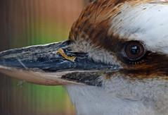 Kookaburra Sunday Selfie