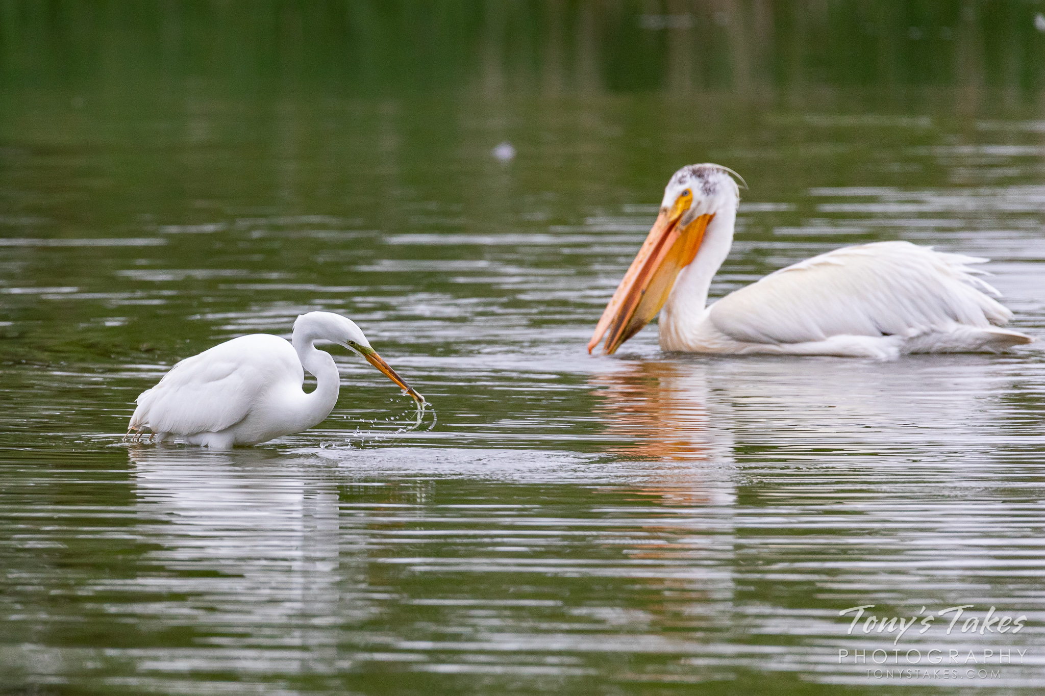 A great egret makes a catch while a pelican swims by to investigate. (© Tony's Takes)