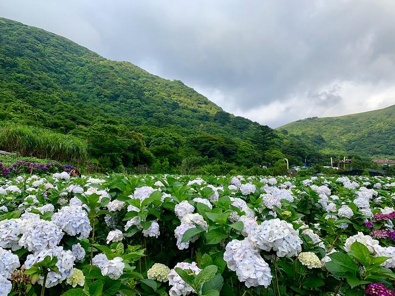 大賞園繡球花