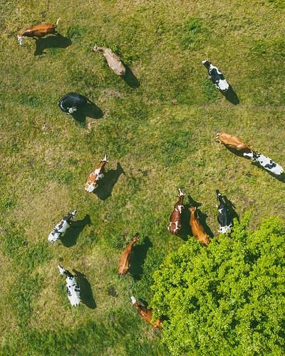 cows krekenava group lithuania aerial drone mavic2 mavic2pro lietuva europe l1d20c hasselblad dronas djieurope aerialphotography dji mavic pro djiglobal 2 djimavic2pro mavicpro2 birdseye 365days 3652019 365 project365