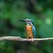 Kingfisher 190526492.jpg