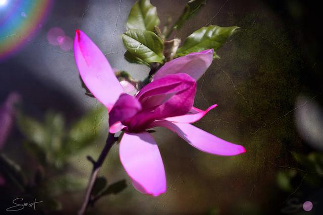 Le Magnolia ...