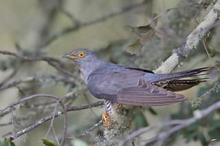 Cuckoo - Cuco