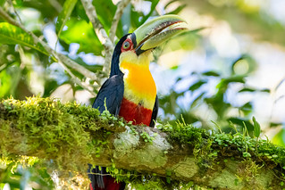 Tucán pico verde - Red-breasted toucan