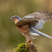 Eurasian Sparrowhawk - Photo (c) john.purvis, some rights reserved (CC BY-NC-SA)