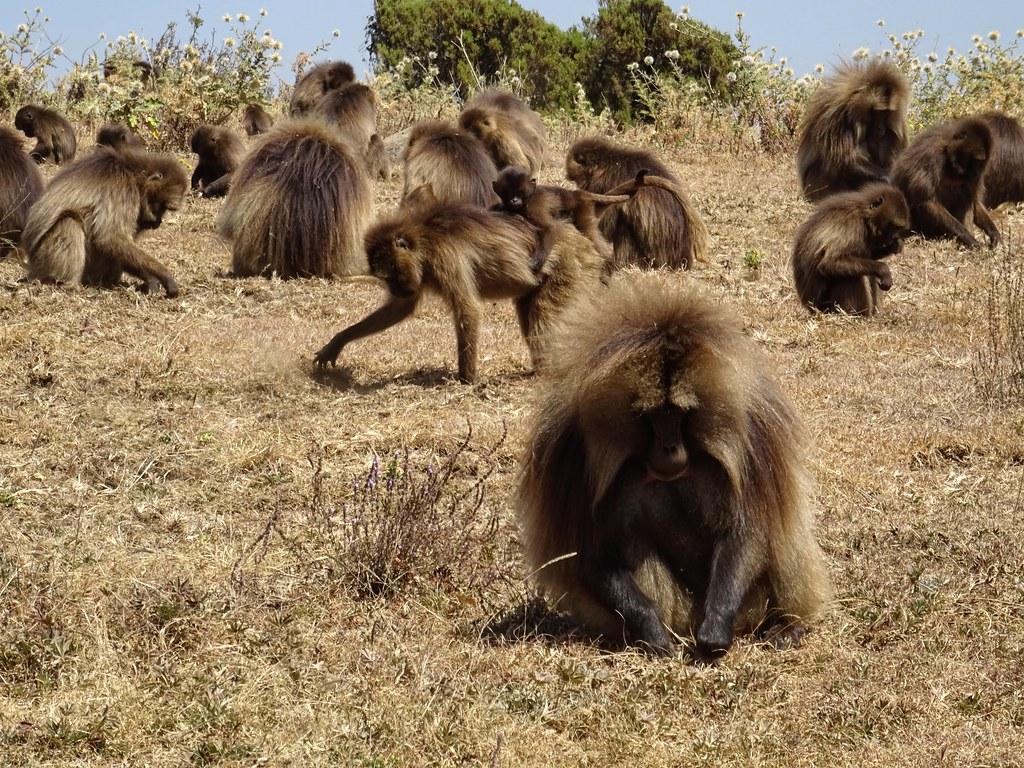 Dżelady w Górach Simien, Etiopia