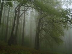 Scodanibbio森に、春の霧