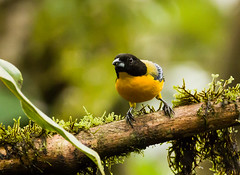 0P7A0873  Black-chinned Mountain Tanager, Ecuador