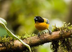 0P7A0873  Black-chinned Mountain Tanager, Ecuador
