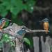 Kingfisher 190526829.jpg