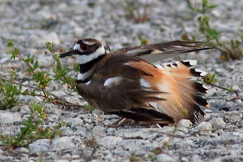 Killdeer distraction display 4-20190525