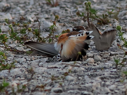 Killdeer distraction display 20190525