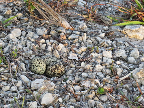 Killdeer eggs 2-20190525
