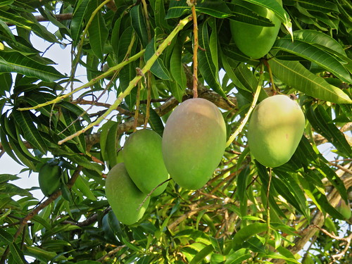 Mango tree south side Glenn variety 3-20190525