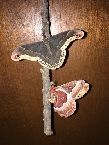 Male and female Promethea moths
