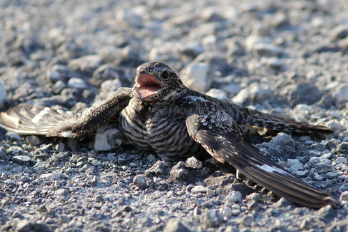 Common Nighthawk female display 04-20190526