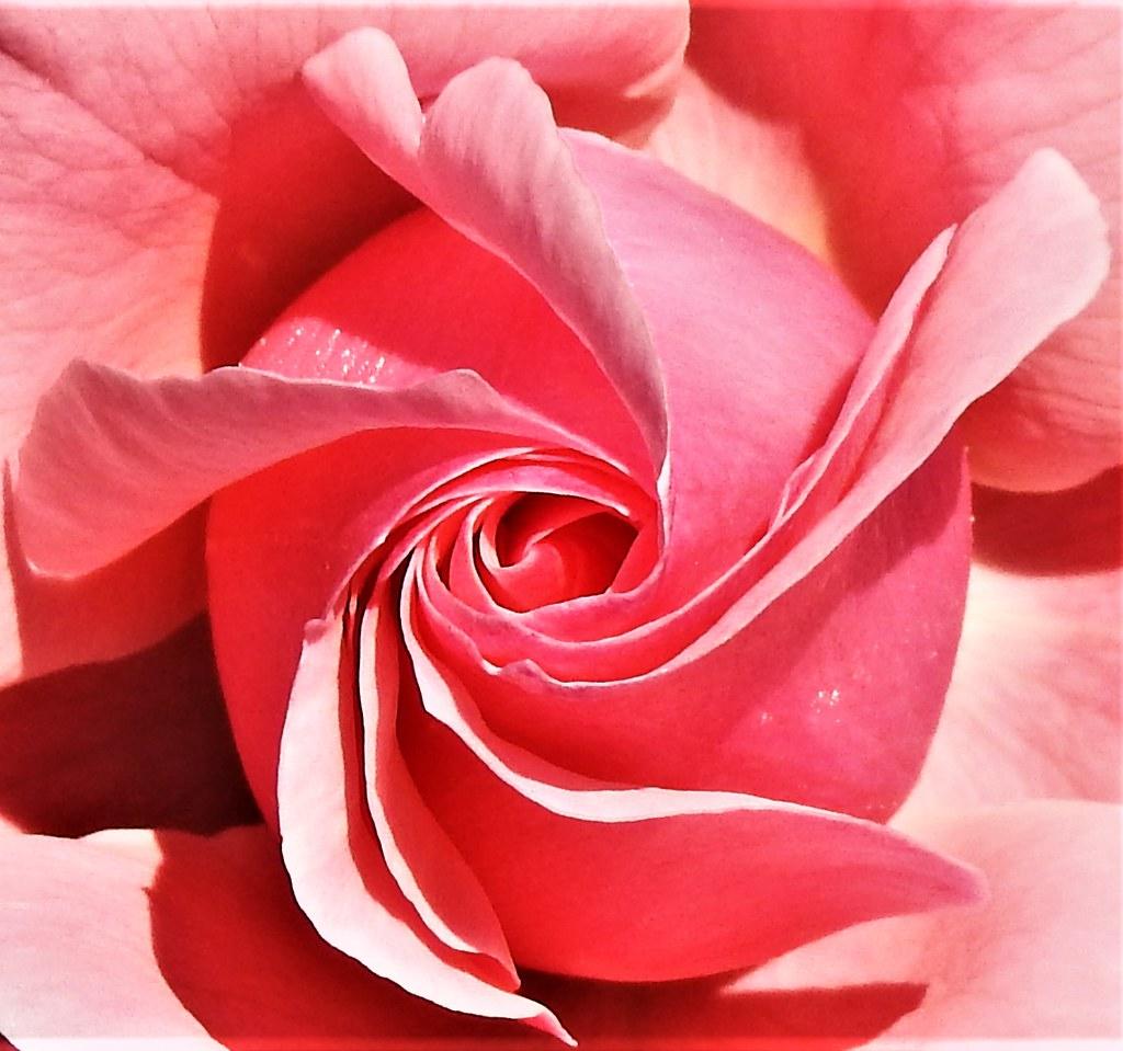 Roses for everyone    Rosen Eltville 26.5.19 (27)
