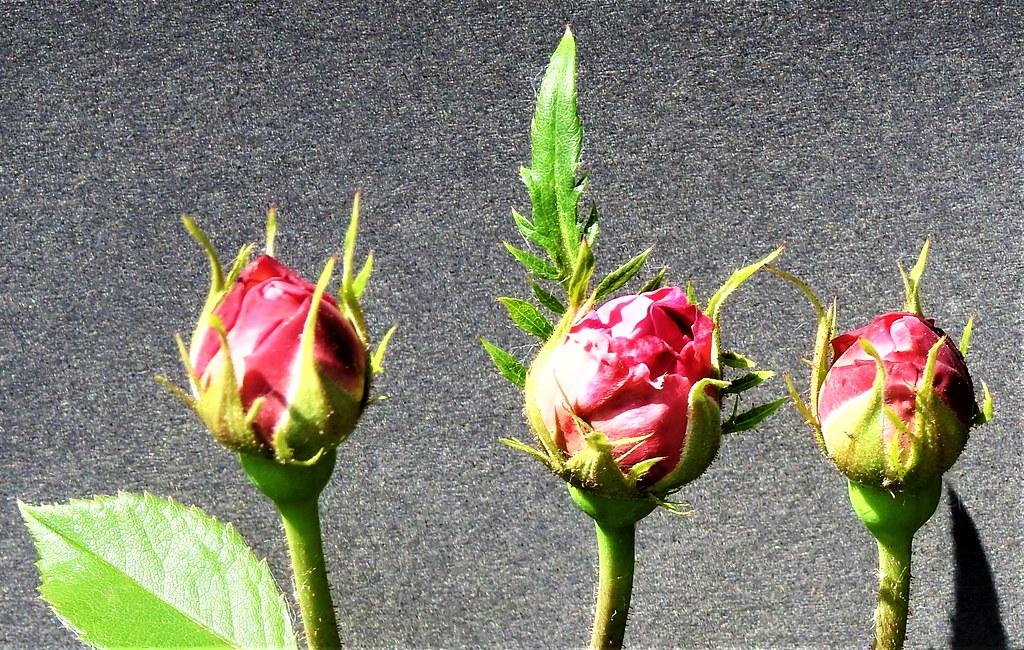 Roses for everyone       Rosen Eltville 26.5.19 (11)