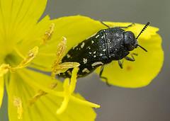 Acmaeodera ornata 1