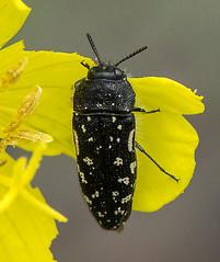 Acmaeodera ornata 2