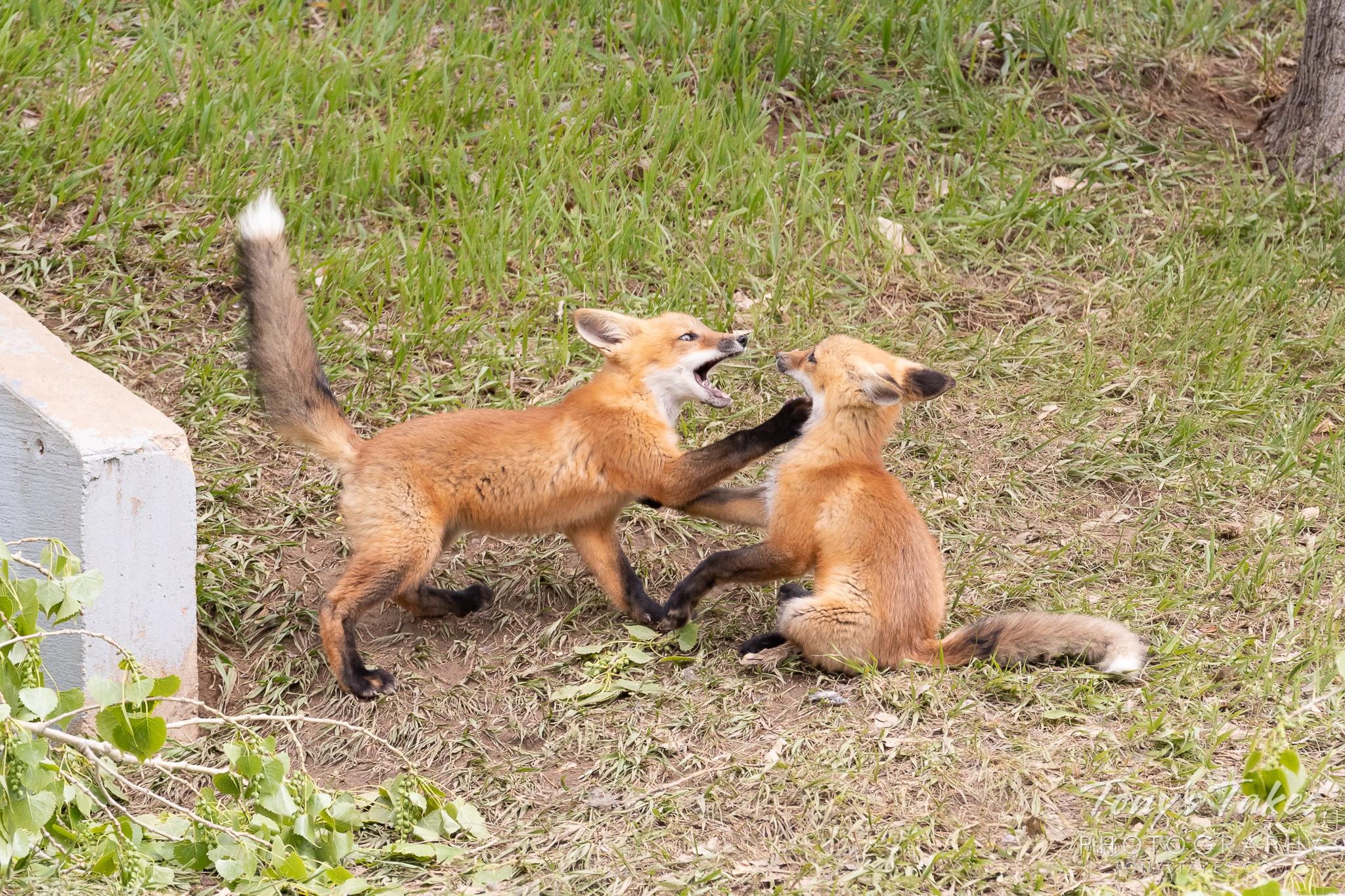 A pair of fox kits plays in Colorado. (© Tony's Takes)