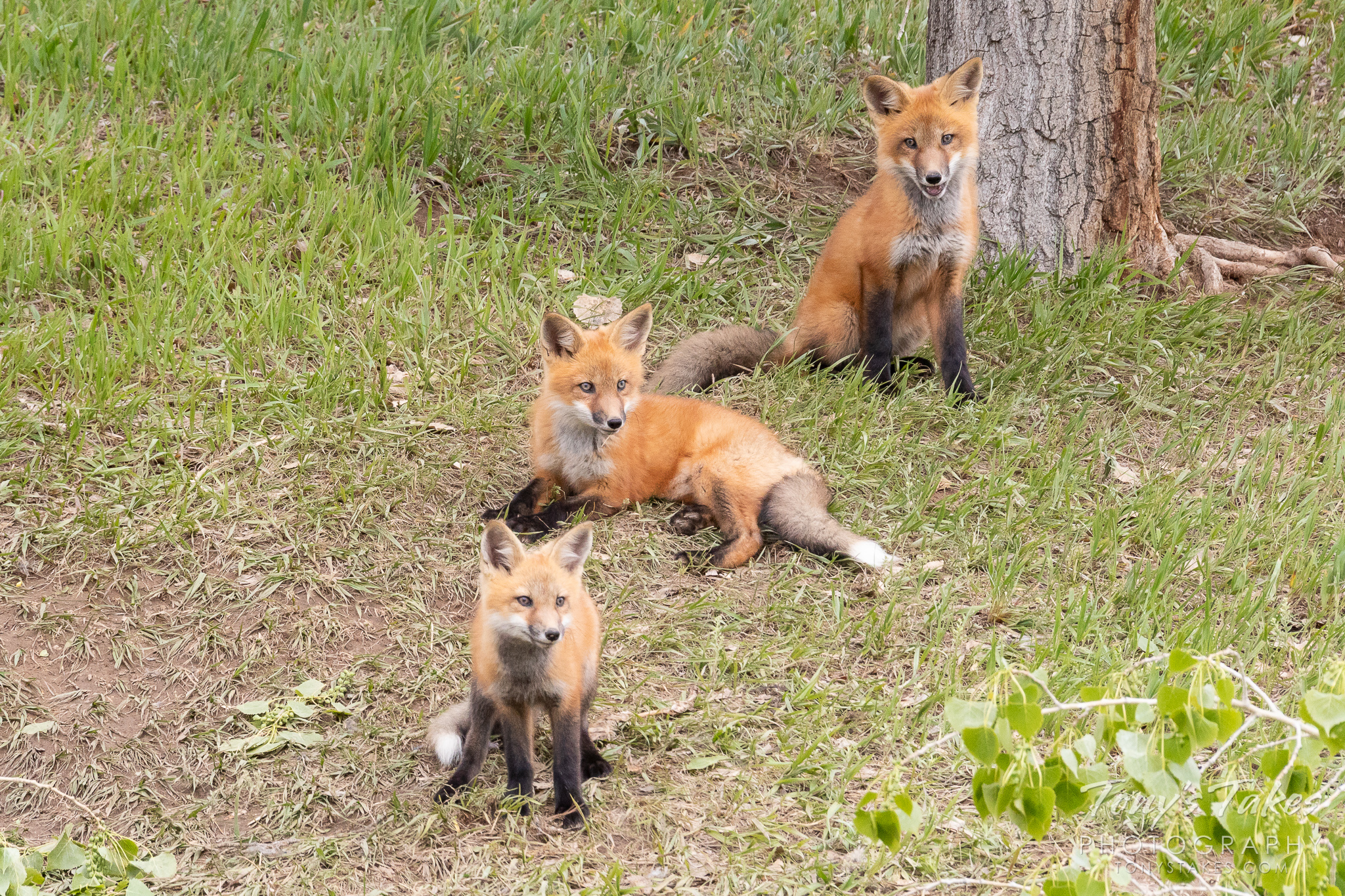 A trio of fox kits paying close attention to passerbys. (© Tony's Takes)