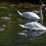 Young swan family on the canal at Preston