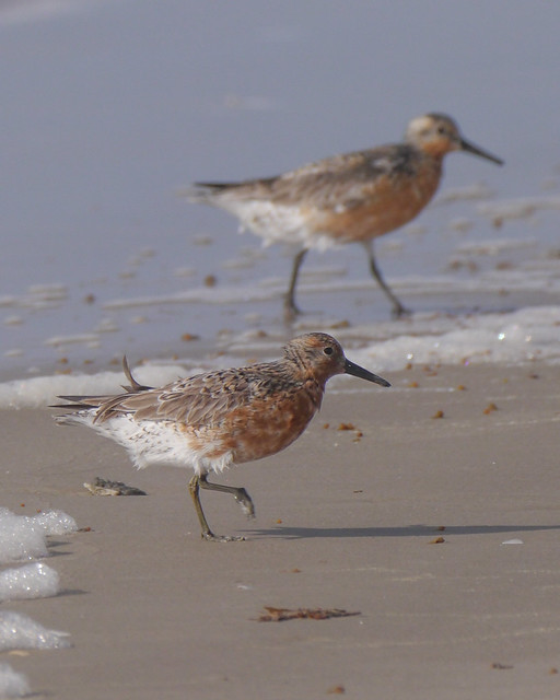 Red Knot - 1 - 3