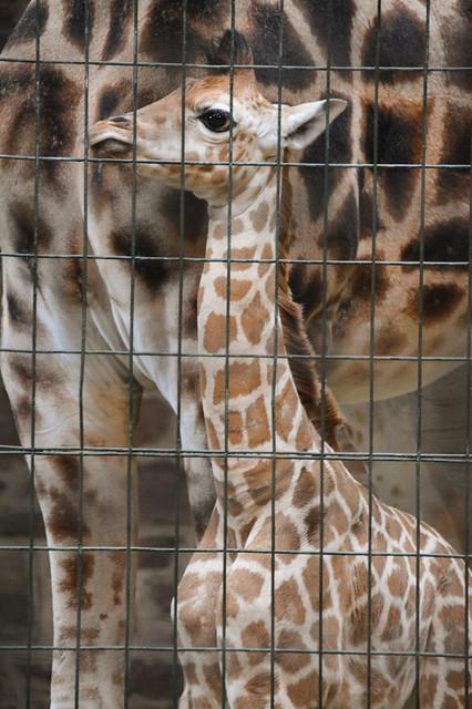 Rothschild's Giraffe Calf (Giraffa camelopardalis rothschildi)