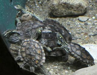 Columbus Zoo - Yellow-blotched Map Turtles