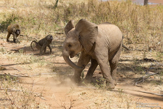 African Elephant Capers - Loxodonta