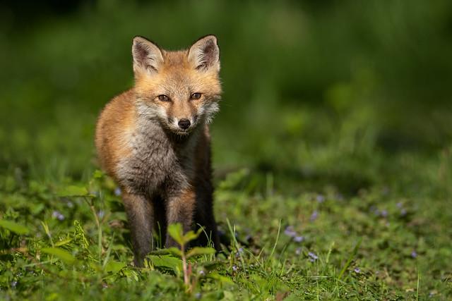 Fox kit eye contact