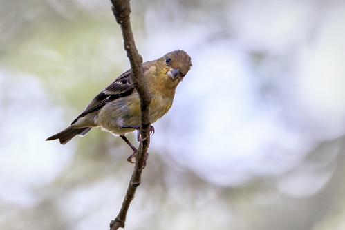 IMG_8419 female lesser goldfinch