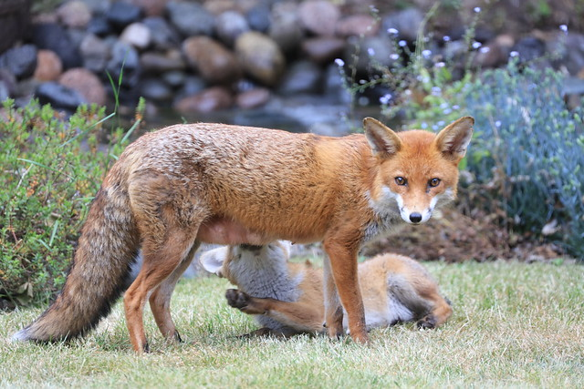 Fox and cub in our garden