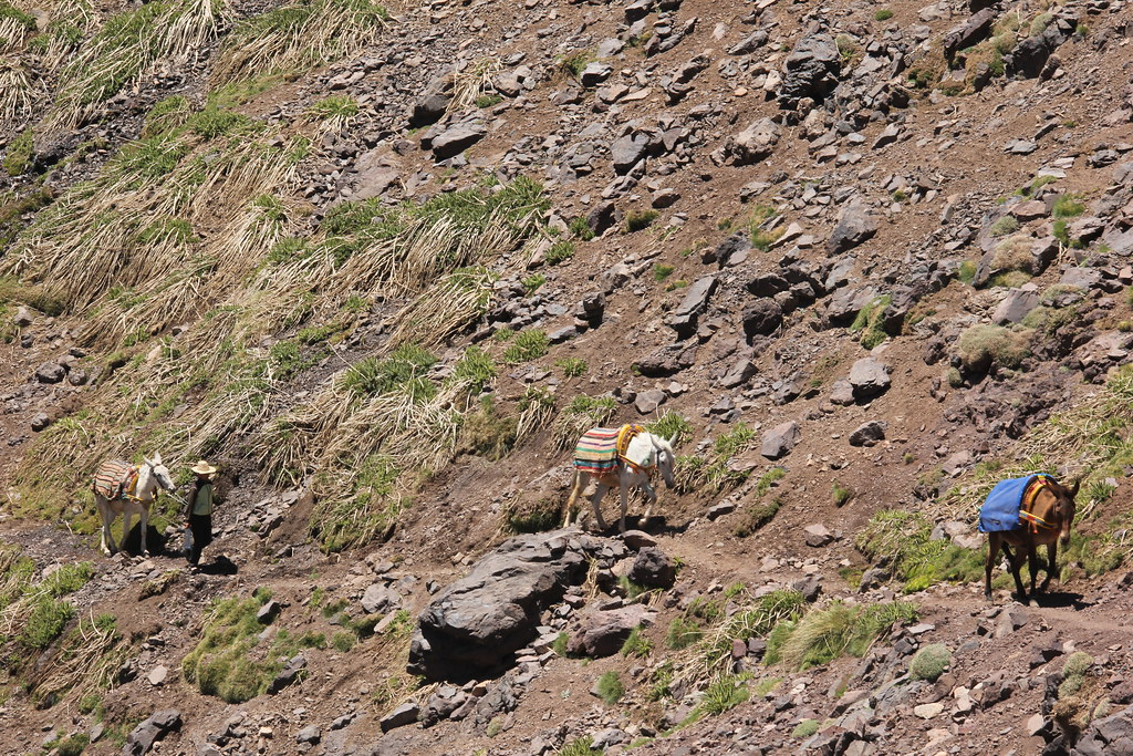 Bringing our mules back from their graze, Mount Toubkal trek