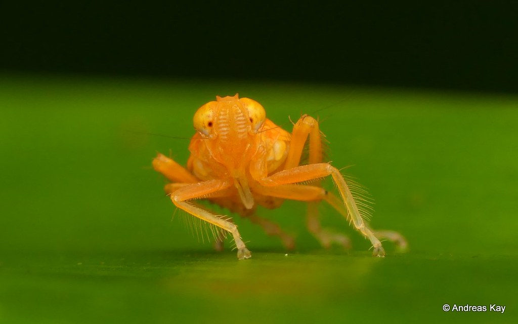 Leafhopper Nymph, Coelidiinae, Cicadellidae