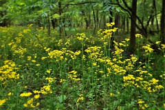 I'd Like to Think the Wildflowers (Congaree National Park)