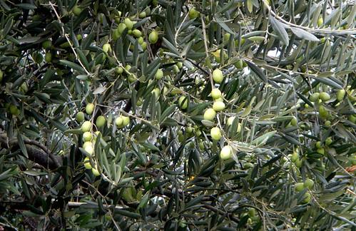 Olive Tree in Spain