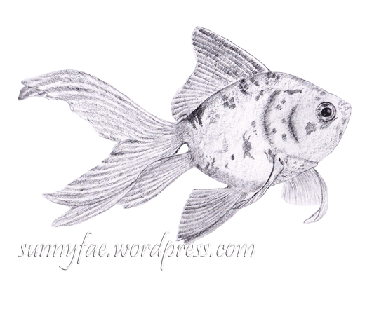 fan tailed goldfish drawn in graphite pencil