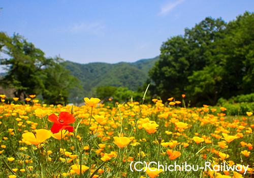 【おすすめ花情報】花の里長瀞 ハナビシソウ園