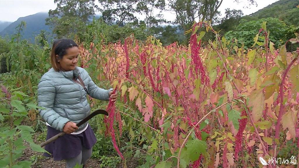 杜岱蓁在這片看起來不起眼小園子裡,種了十二種作物,其中紅藜面積最大,現在正進入採收期。