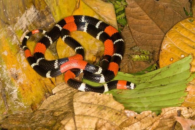 Micrurus lemniscatus [Ribbon Coral Snake]