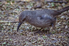Curve-billed Thrasher foraging