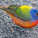 WAS_2933 Painted Bunting