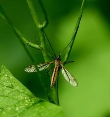 monsieur moustique